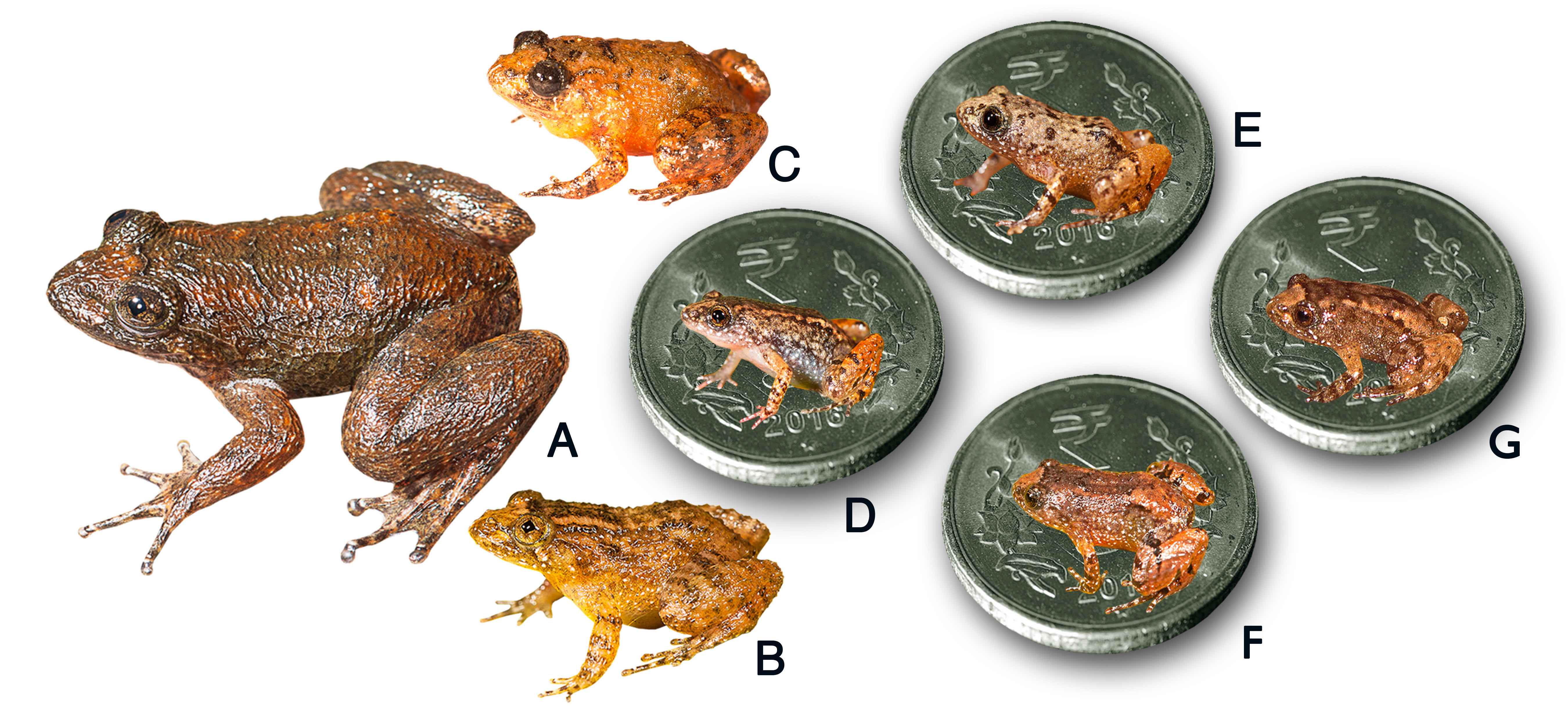 7 new frogs discovered in india some smaller than a thumbnail