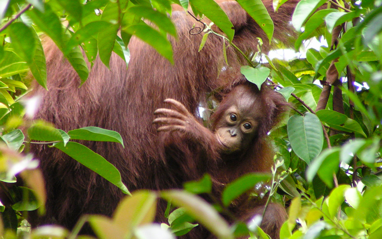 Orangutans use oil palm landscapes, and if sufficient food resources are provided and human-orangutan conflict avoided, viable populations could survive in landscapes with both oil palm and natural forests. Photo by Marc Ancrenaz