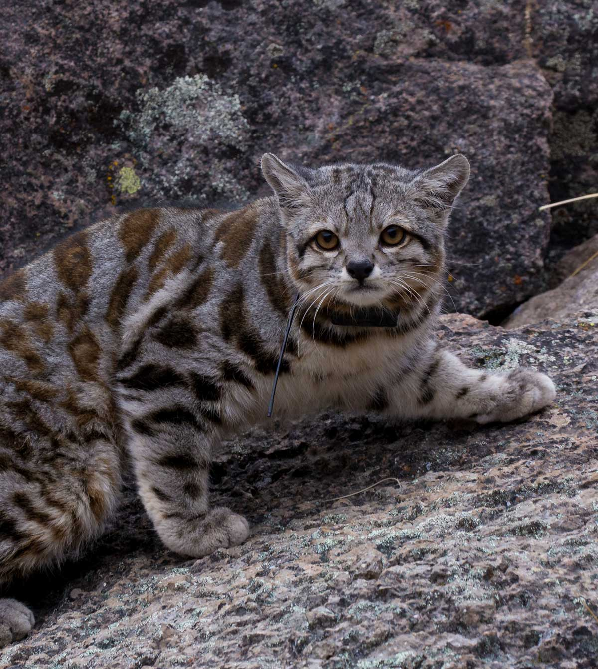 Cat: Field Notes: Finding Jacobo; An Andean Cat Captivates
