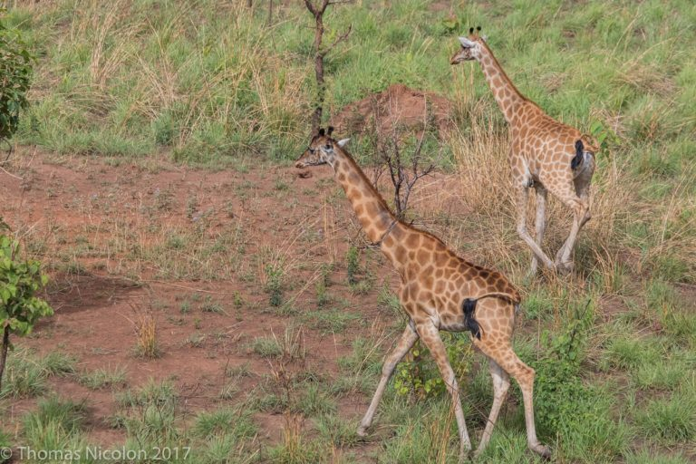 Giraffes roam in Garamba National Park in DRC. Photo by Thomas Nicolon for Mongabay.