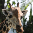 Giraffes are endangered, groups argue, file petition with U.S.
