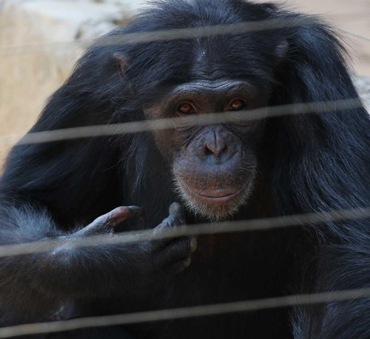 No Safe Forest Left 250 Captive Orphan Chimps Stuck In