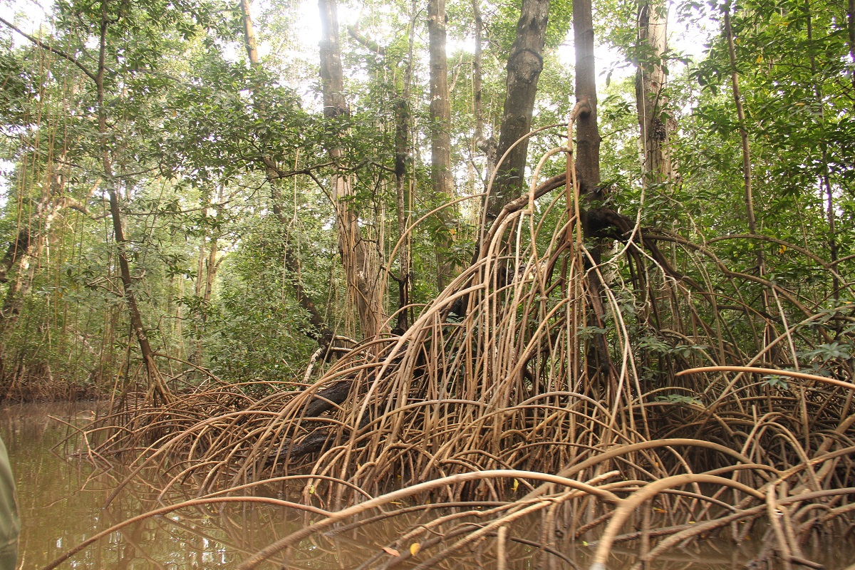 The dense mangrove forest of the Mangrove Marine Park provide cover. Photo by William Clowes for Mongabay.