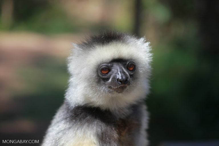 Diademed Sifaka (Propithecus diadema), a species threatened by the Madagascar rosewood trade. Photo by Rhett A. Butler for Mongabay.