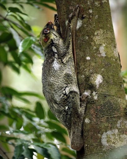 A flying 'lemur', which actually glides using skin on its front legs and is called a colugo