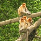 Proboscis monkeys grooming.