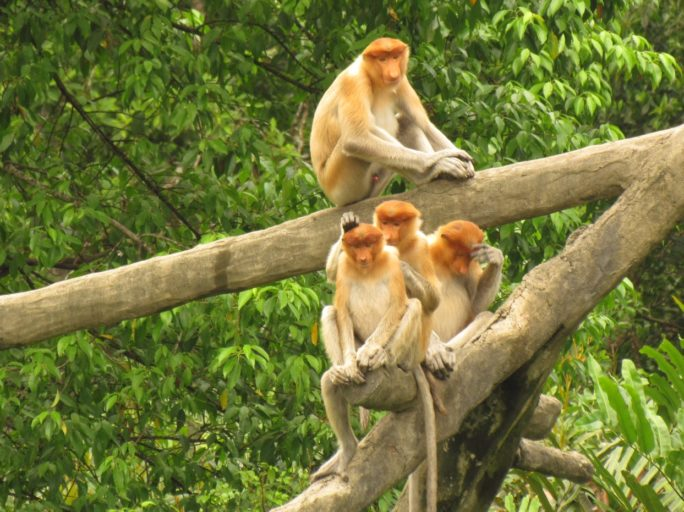 Proboscis monkeys grooming.