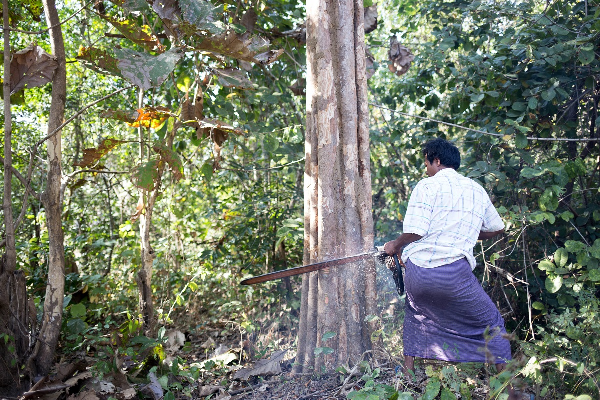 A villager from Mahu cuts down a tree using a midsize chainsaw. A chainsaw can cut down a tree four times faster than an axe and handsaw. Photo by Ann Wang for Mongabay.