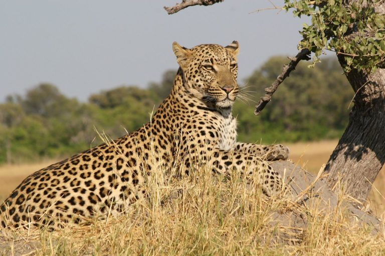 An African leopard (Panthera pardus pardus) at the Moremi Game Reserve, Botswana.