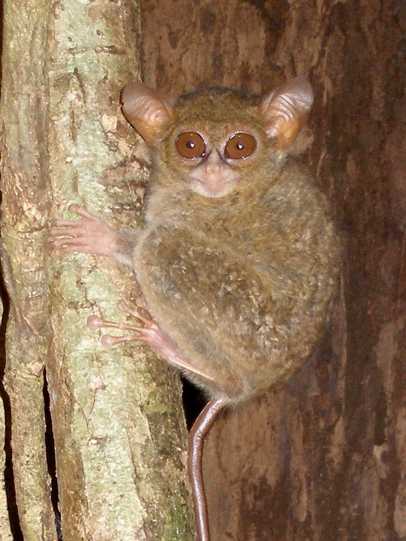 Tarsius spectrumgurskyae. Photo by Myron Shekelle.