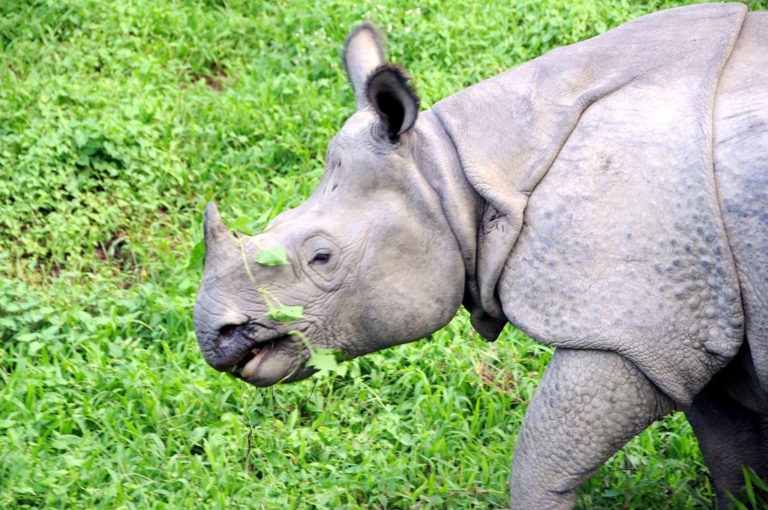 Fighting a plant to save rhinos in Nepal