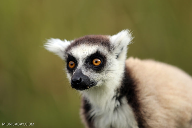 Ring-tailed lemur (Lemur catta) in Madagascar. Photo by Rhett A. Butler/Mongabay.