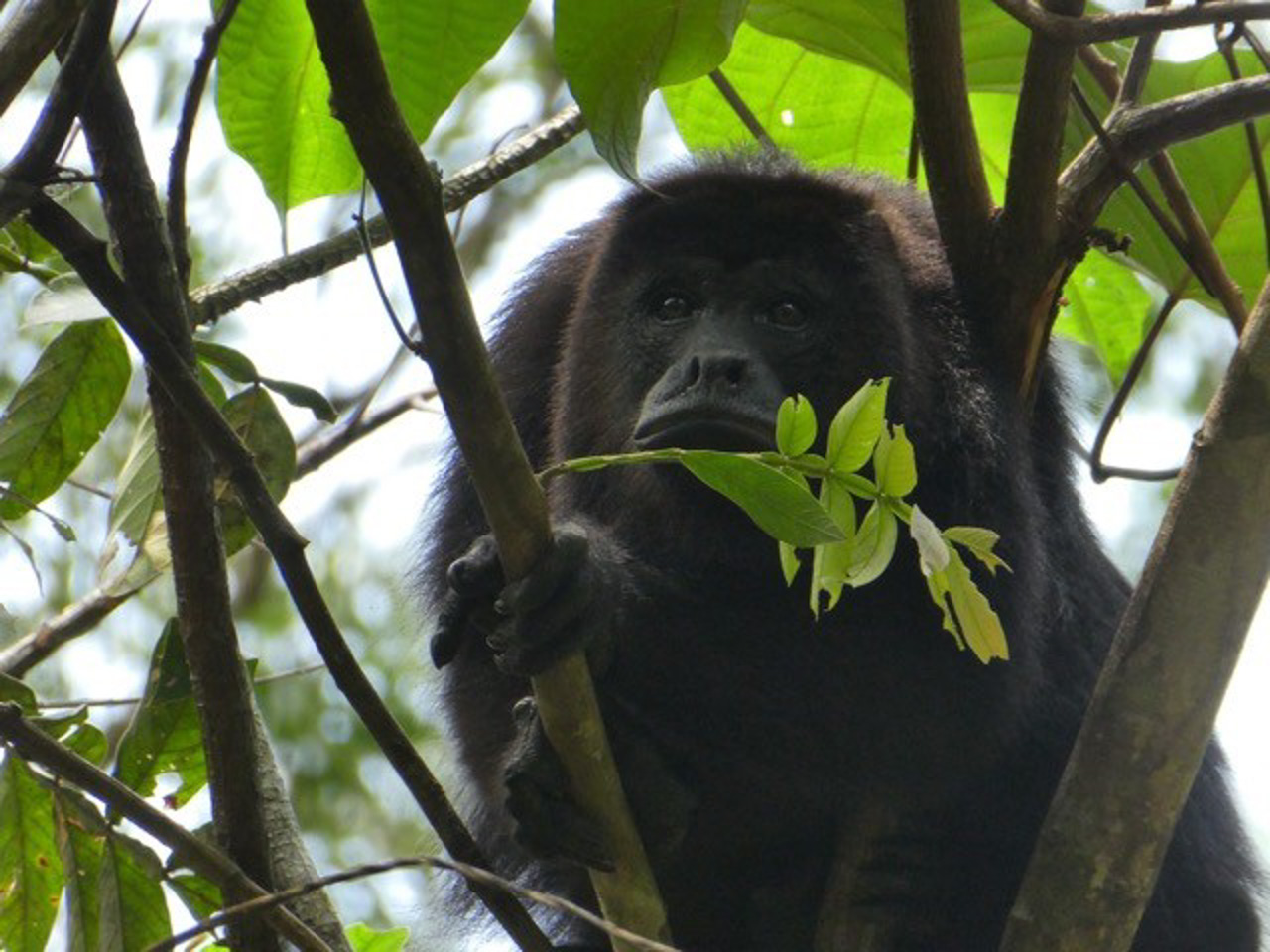 howler monkeys booming in belize sanctuary 25 years after translocation