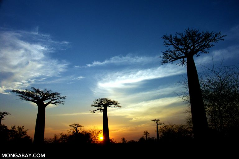 Baobabs Near Morondava, Madagascar. Photo by Rhett A. Butler