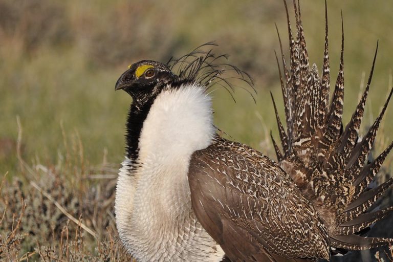 No, 'regenerative ranching' is not good for grassland birds (commentary)