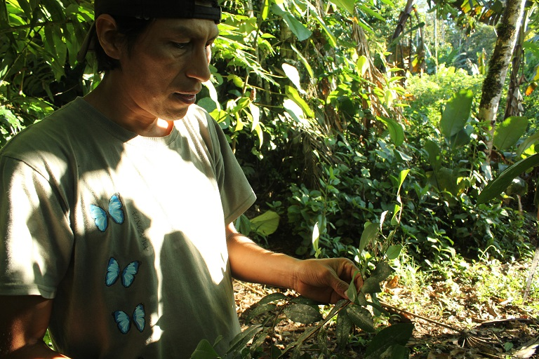 Alvarado picking a flower called Chiriwayusa in Quichua, which he will use for a medicinal steam bath. Photo by Kimberley Brown for Mongabay.