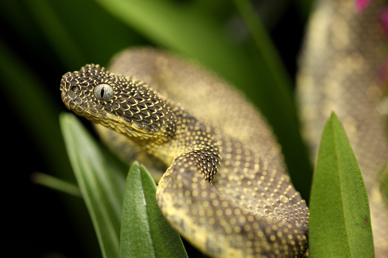 Mt. Kenya Bush Viper, aka Ashe's Viper (Atheris desaixi). Photo courtesy of CITES.