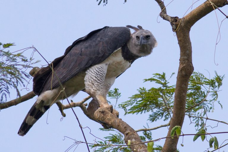 Adult harpy eagle. Photo by Tom Ambrose.