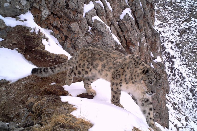 A snow leopard in the Sanjiangyuan region of China's Qinghai province, captured by camera trap. Photo courtesy of Shanshui Nature Center.