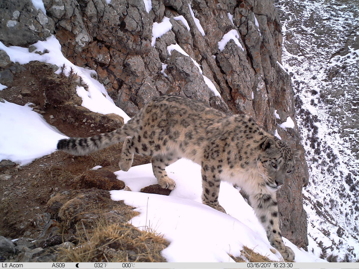 A snow leopard in the Sanjiangyuan region of China's Qinghai province. Photo courtesy of Shanshui Nature Center.