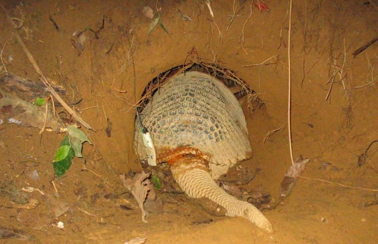 GPS tag attached to shell of a giant armadillo getting ready to enter its burrow
