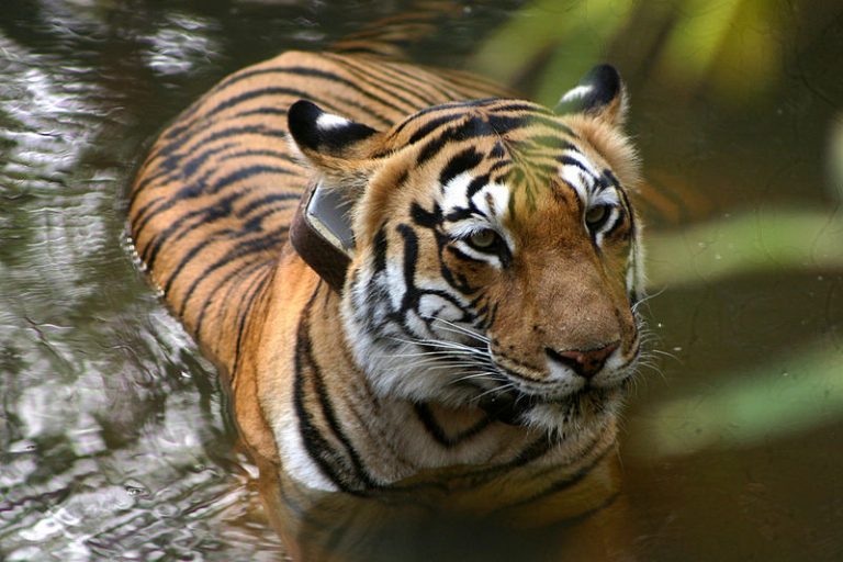 Tigress with tracking collar in India