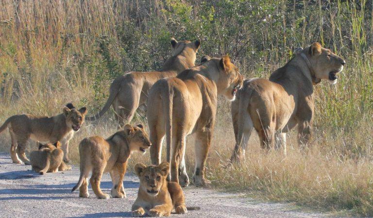 Zimbabwe lion family