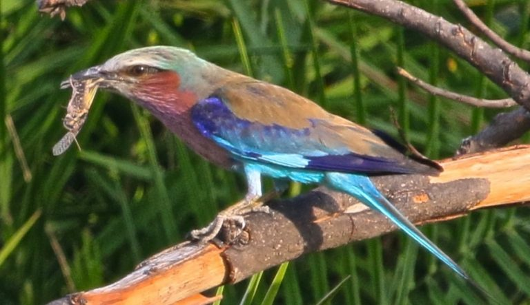 Researchers are working with companies to develop GPS tags small enough to be safely worn by medium-sized birds like this roller