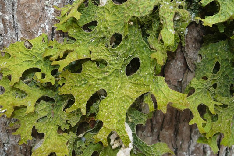 Lobaria pulmonaria, aka lungwort, plays a critical role in forest nutrient cycling and is a good indicator of air pollution. Photo by Bernd Haynold via Wikimedia commons ( CC-by-sa 1.0, 2.0, 2.5, 3.0). https://commons.wikimedia.org/wiki/File:Lobaria_pulmonaria_010108e.jpg
