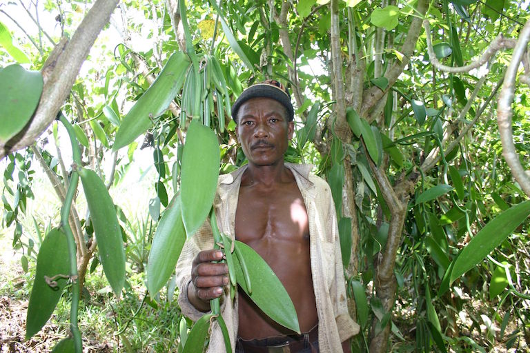 A vanilla farmer in Madagascar. In many parts of the world women tend to focus on subsistence harvesting and agriculture while men tend to engage in more lucrative activities, such as vanilla farming. Photo by Curan Bonham / Conservation International.