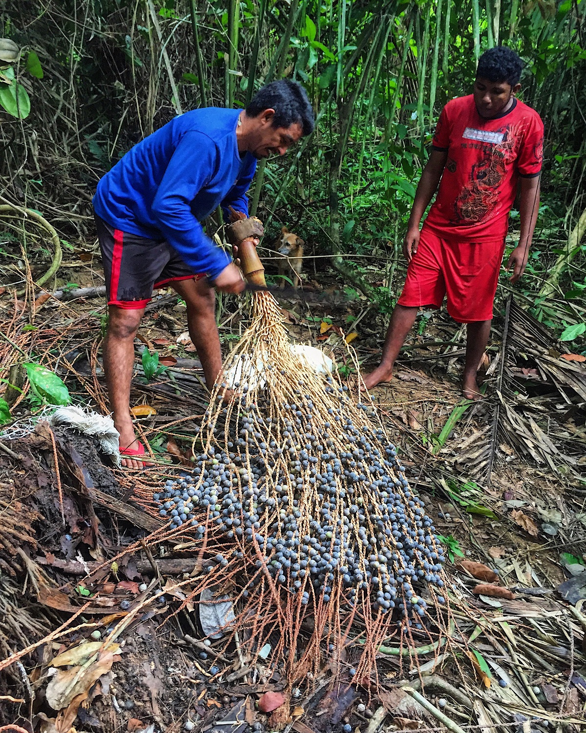Sinha, left, strips the Bacába fruit from its vine. The Bacába is a relative of the popular açaí superfruit. Photo by Maximo Anderson for Mongabay.