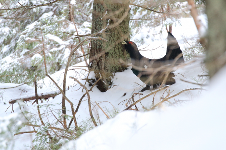 Male-capercaillie1