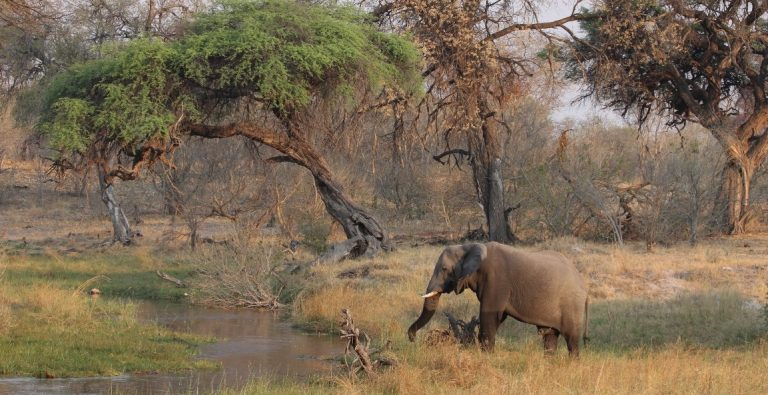 An elephant in Botswana far from people and unlikely to encounter and break fences.