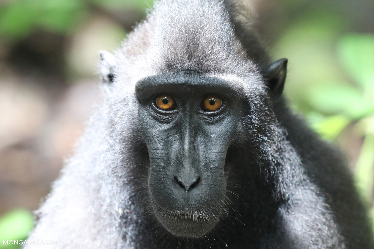 A Sulawesi black macaque in the Tangkoko Batuangus Nature Reserve. Photo by Rhett A. Butler/Mongabay.