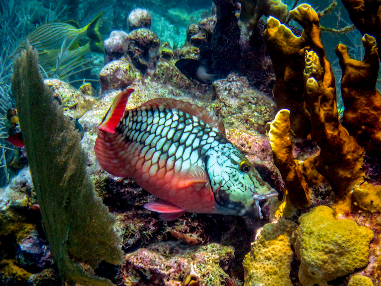 A parrot fish on a coral reef. Photo by Cory Fuchs, courtesy of Oregon State University.