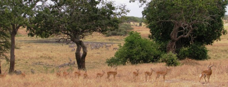 Impala and zebra in a natural savanna environment. As human development expands into natural areas, greater contact between domestic and wild animals may increase the spread of disease.