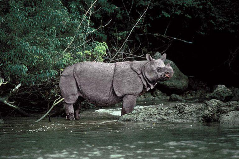 Conservation news on Javan Rhinos
