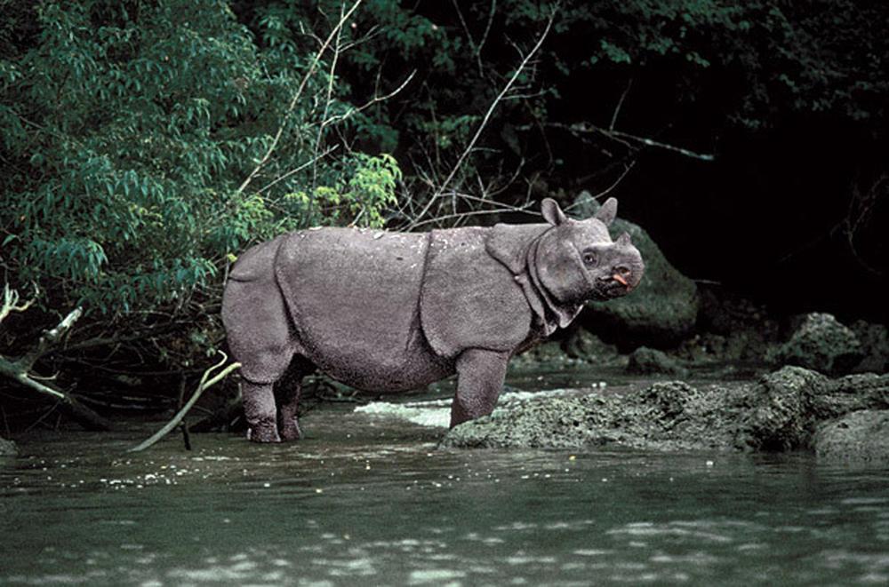 Javan Rhino | Mongabay.com