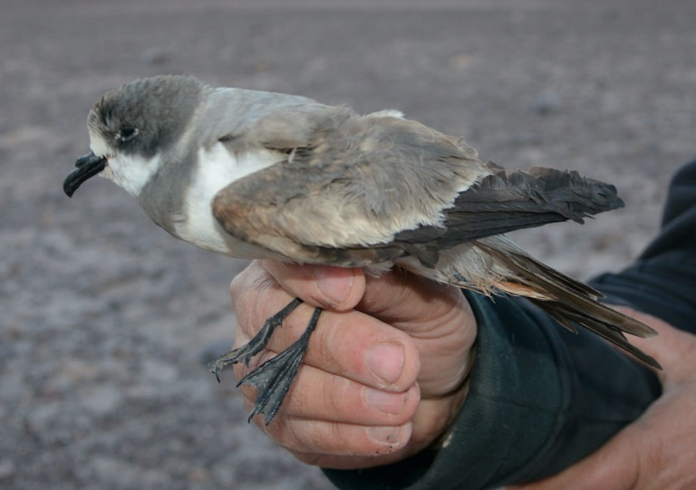 A ringed storm-petrel caught in a nest, confirming that the team had found the location of a breeding colony. Photo by Felipe de Groote.