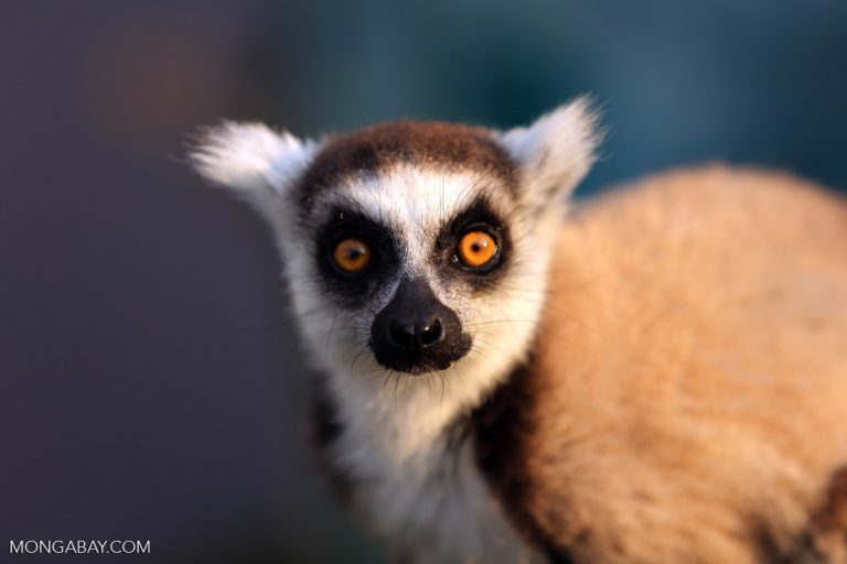 Ring-tailed lemur. Photo by Rhett A. Butler.