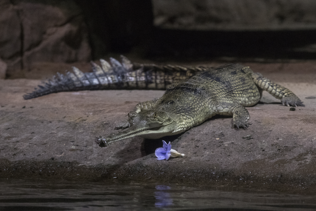 Julie-Larsen-Maher_8934_Indian-Gharial-Arrival_JUN_BZ_12-20-16
