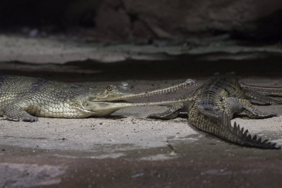 Julie-Larsen-Maher_8876_Indian-Gharial-Arrival_JUN_BZ_12-20-16