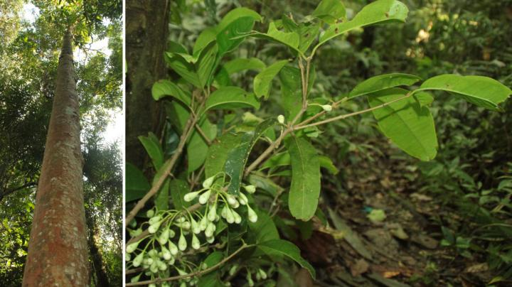 Five new species of flowering trees from Sulawesi