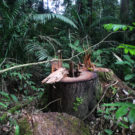 Illegal logging and hunting threaten Yasuní isolated indigenous groups