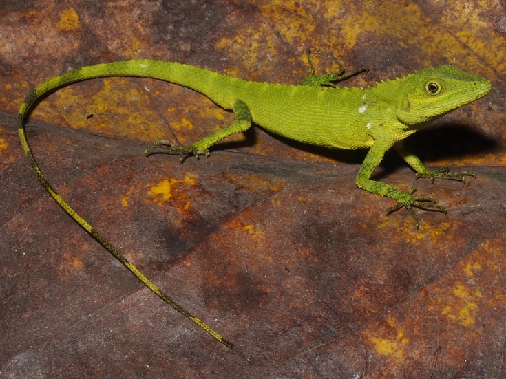 2 new reptiles discovered in sumatra