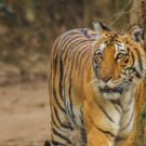 A dangerous path: New highway could jeopardize tigers in India
