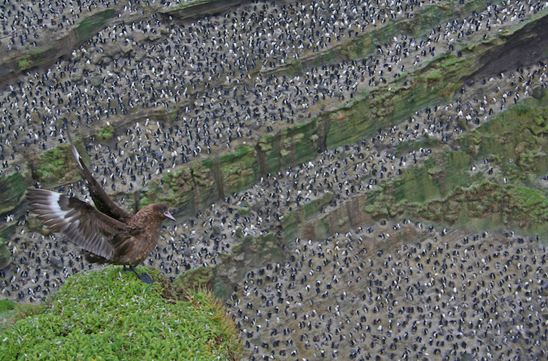 A Subantarctic skua (Stercorarius antarcticus) displays on a promontory over an amphitheatre colony of Macaroni penguins (Eudyptes chrysolophus). Photo by Nico de Bruyn.