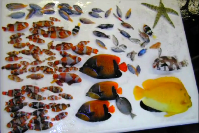 Reef fish that did not survive the cyanide spray.