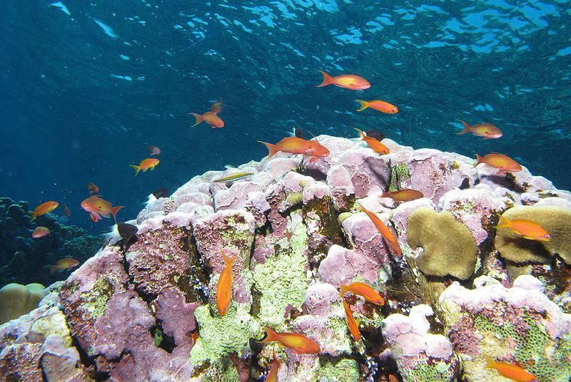 Reef scene with anthias fish and coralline algae.