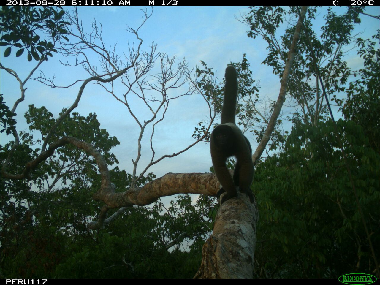Woolly monkey using a canopy bridge